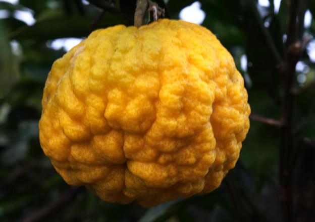 あばたの大柚子