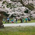 玉若酢命神社の桜(4)