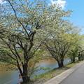隠岐病院裏の桜(1)