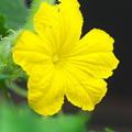 Photos: キュウリの花