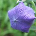 Photos: 青い紙風船