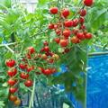 最後のミニトマト