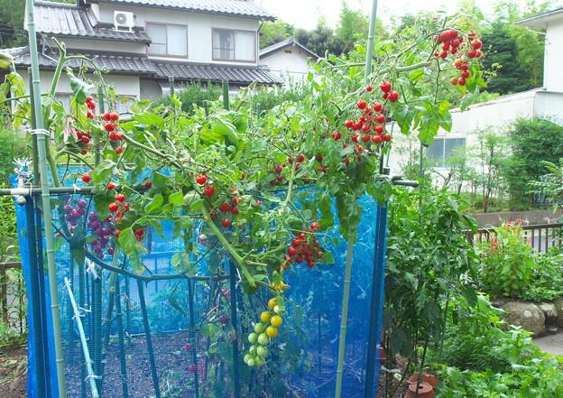 Photos: 頑張ったミニトマト