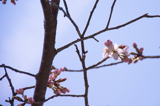 5月1日の桜1