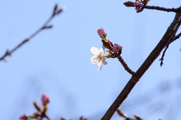 5月1日の桜2