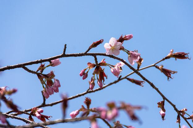 5月1日の桜6