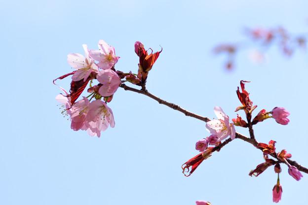 5月1日の桜7