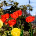写真: 庭のチューリップ20180512_2