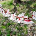 写真: 平岡公園の梅 20180504-19
