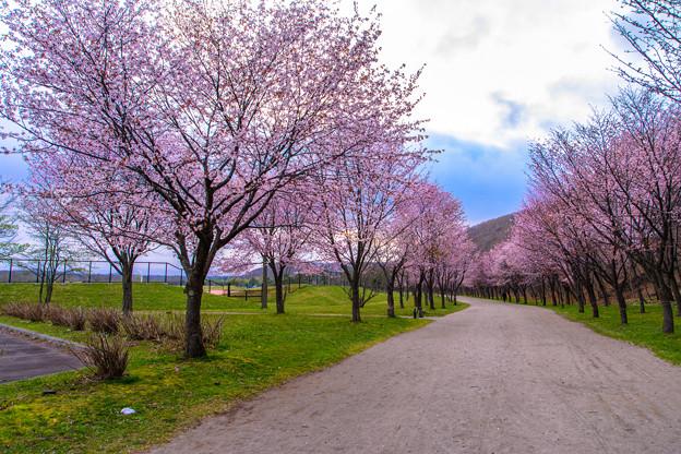 緑ヶ丘公園の桜 20180507-1