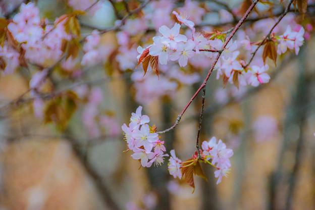 緑ヶ丘公園の桜 20180507-3