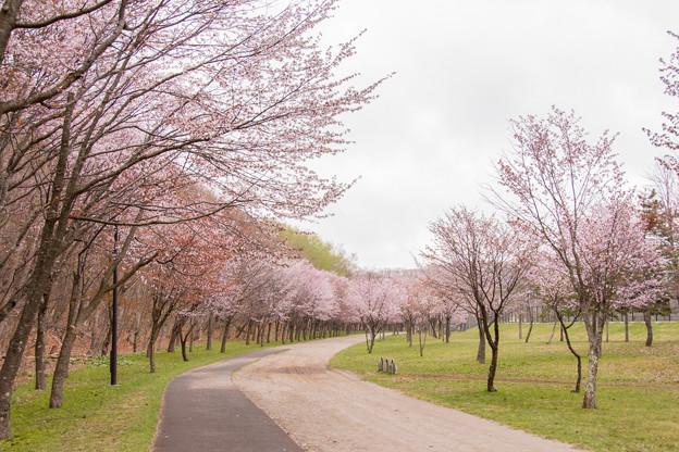緑ヶ丘公園の桜 20180507-4