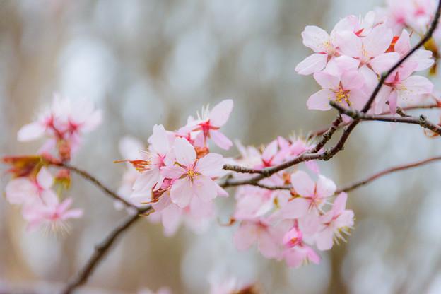 緑ヶ丘公園の桜 20180507-7
