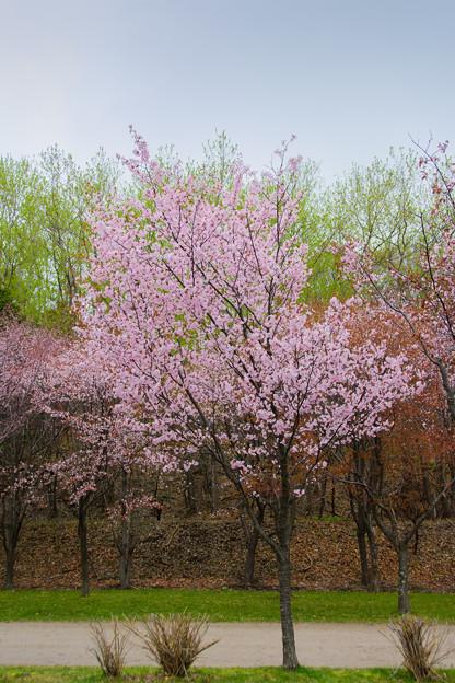 緑ヶ丘公園の桜 20180507-8