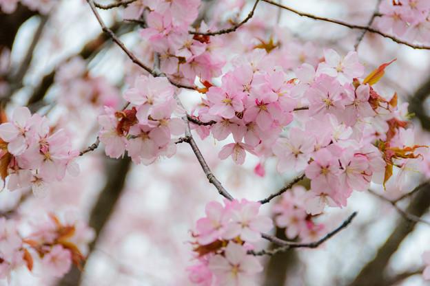 緑ヶ丘公園の桜 20180507-9