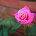 写真: 庭に咲いてた薔薇