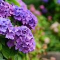 写真: 紫陽花 1