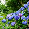 Photos: 紫陽花 2