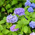 写真: 紫陽花 6
