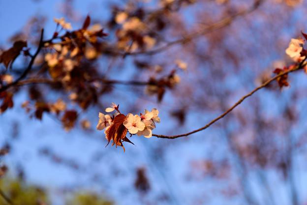 緑ヶ丘公園の桜 20190504_4