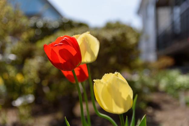 庭のチューリップ 20190519_1