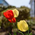 Photos: 庭のチューリップ 20190519_1