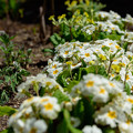 Photos: 庭の花 20190519_2
