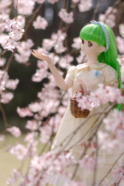 しだれ桜-9
