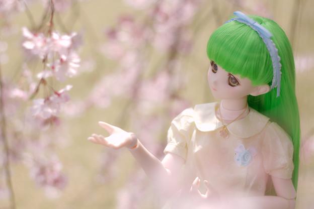 しだれ桜-10