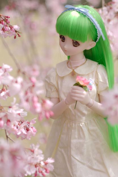 しだれ桜-11