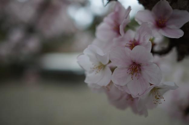 写真: 2016 sakura