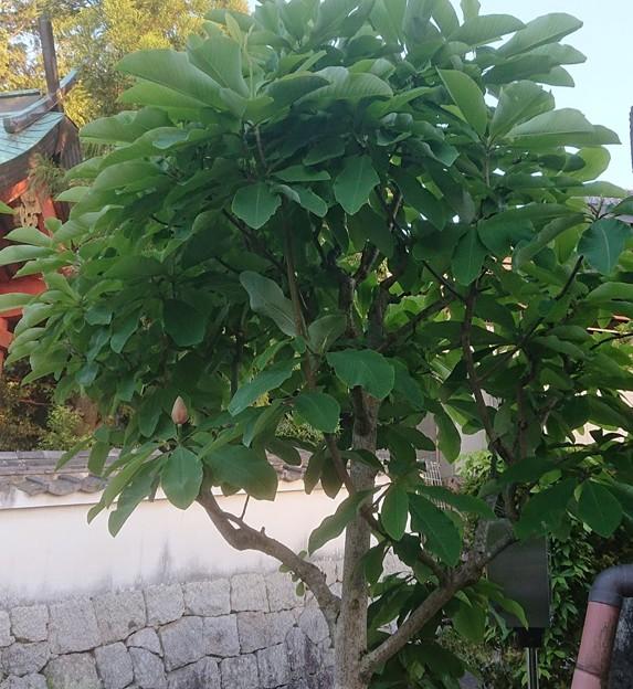 0522朴木の花1