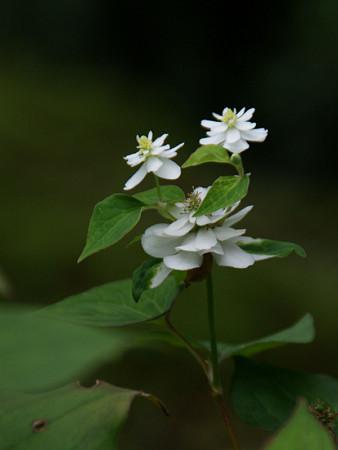八重ドクダミの花の子0628tk