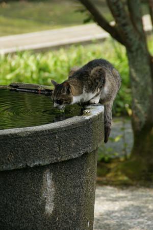 猫の水飲み0705ta