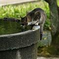 写真: 猫の水飲み0705ta