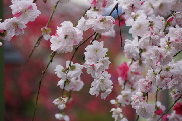 華モモの花が咲く参道、称名寺14!