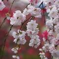 Photos: 華モモの花が咲く参道、称名寺14!