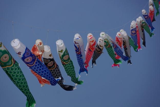 写真: 鯉のぼりが風にたなびく!14