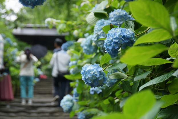 姫紫陽花の参道2!140607