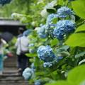 写真: 姫紫陽花の参道2!140607
