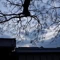 センダン京都御所2015