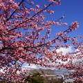 写真: 青空に河津桜20160221d