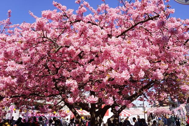 河津桜満開20160221e