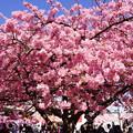 写真: 河津桜満開20160221e