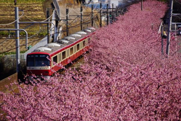 河津桜と赤い電車20160221a