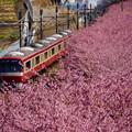 写真: 河津桜と赤い電車20160221a