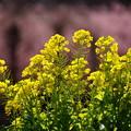 写真: 菜の花と河津桜20160221j