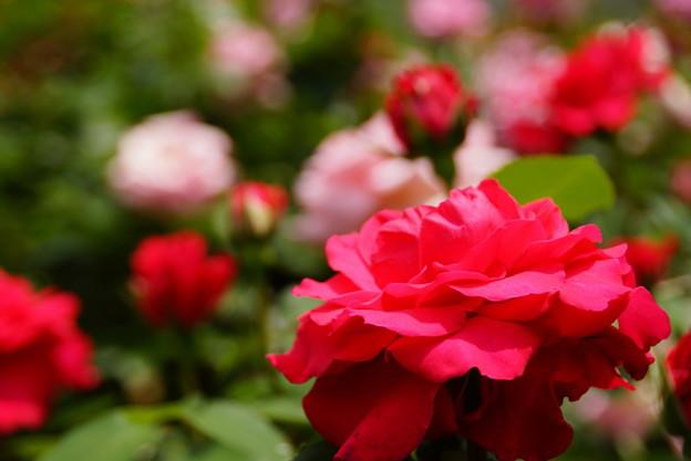写真: 真紅のバラ鎌倉20160514d