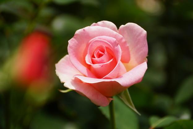 写真: ピンクのバラ20160514h