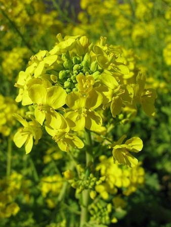 菜の花アップ0103tx.jpg